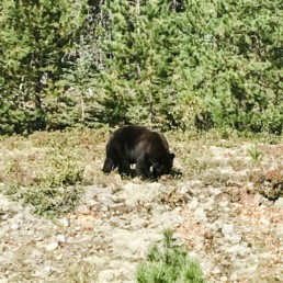 Kanadischer Bär fotografiert von Veronika Anna Fotografie auf Reisen 2019 in Kanada